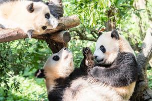 3頭のパンダの写真素材 [FYI01505203]