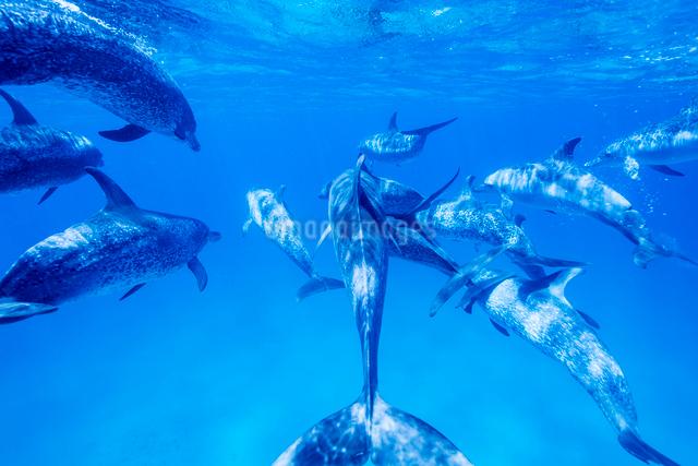 タイセイヨウマダライルカの群れの写真素材 [FYI01505208]