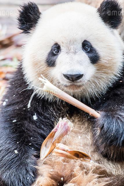 笹を食べる1頭のパンダの写真素材 [FYI01505219]