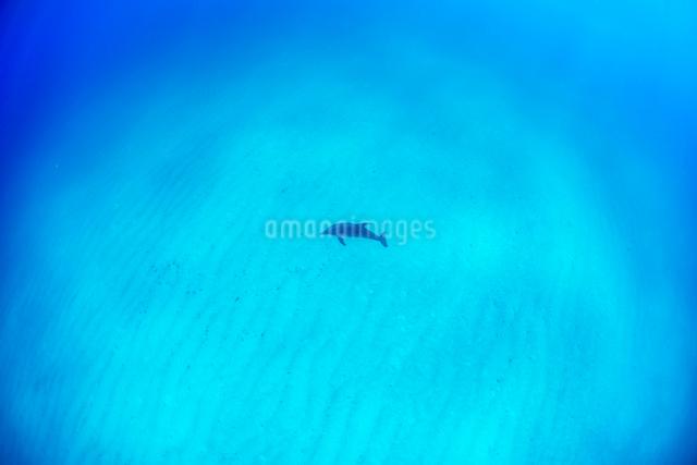 白い砂浜と1頭のタイセイヨウマダライルカの写真素材 [FYI01505228]