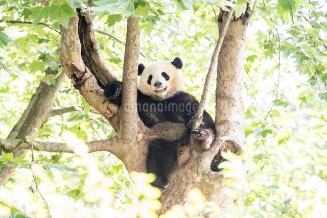 木に登る1頭のパンダの写真素材 [FYI01505240]
