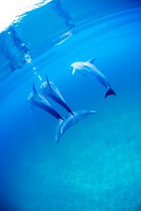 穏やかな海と3頭のタイセイヨウマダライルカの写真素材 [FYI01505242]