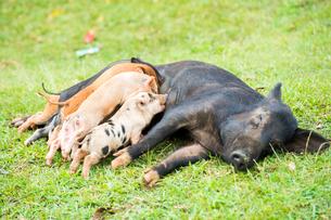 授乳中の豚の写真素材 [FYI01505248]
