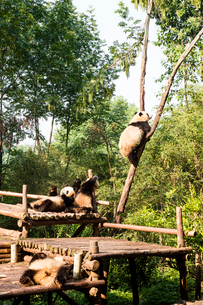 複数のパンダの写真素材 [FYI01505252]