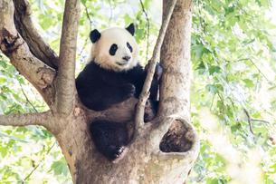木に登る1頭のパンダの写真素材 [FYI01505256]