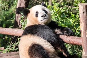 1頭のパンダの写真素材 [FYI01505265]