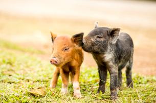 2頭の子豚の写真素材 [FYI01505268]