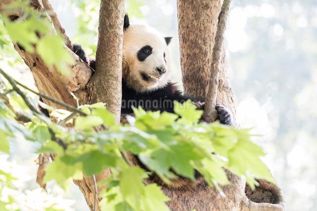 木に登る1頭のパンダの写真素材 [FYI01505292]