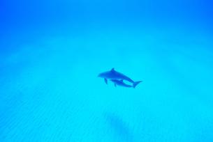青い海の親子イルカの写真素材 [FYI01505298]
