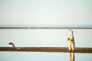 立つシロクマの写真素材 [FYI01505299]