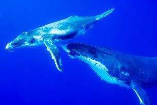 青い海と親子のザトウクジラの写真素材 [FYI01505314]