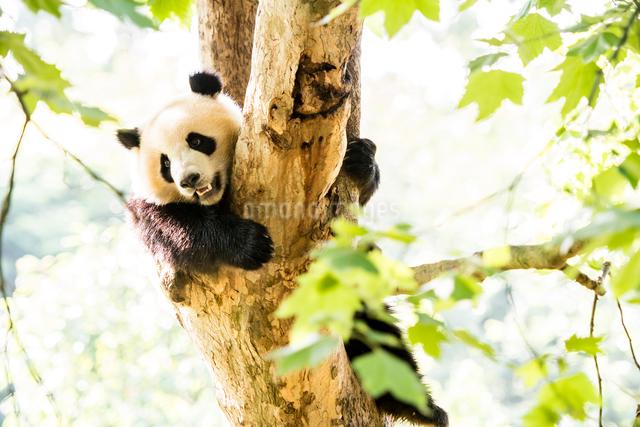 木に登る1頭のパンダの写真素材 [FYI01505329]
