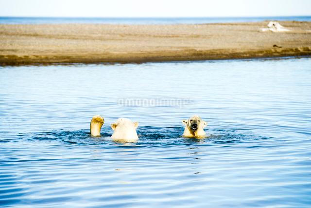 泳ぐシロクマの写真素材 [FYI01505335]