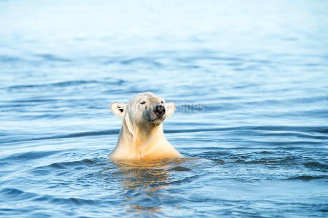 泳ぐシロクマの写真素材 [FYI01505343]