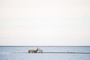 4頭のシロクマと海の写真素材 [FYI01505349]