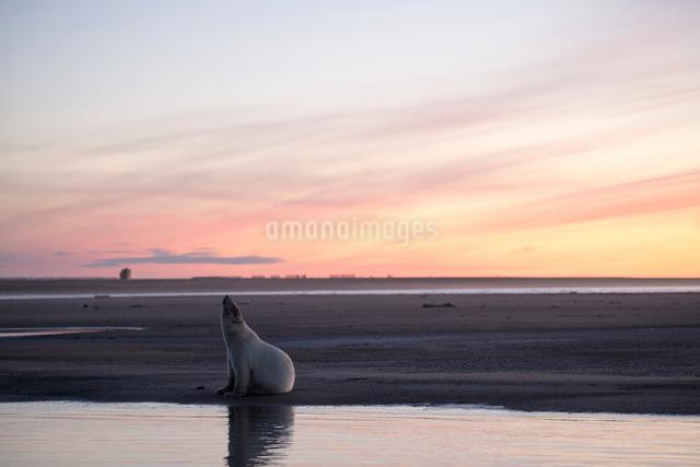 夕暮れとシロクマの写真素材 [FYI01505379]