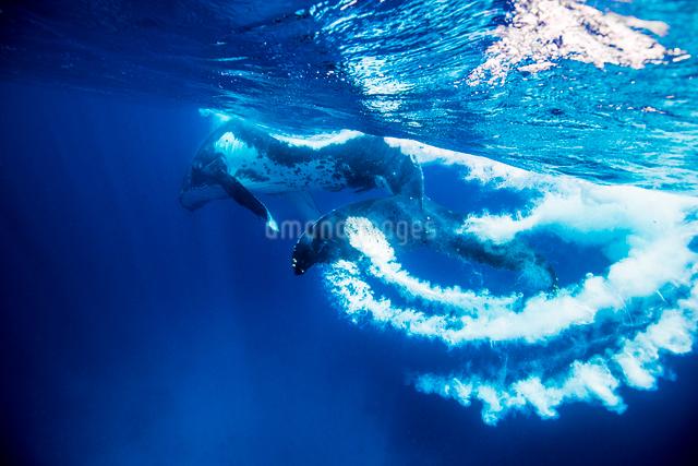 1頭のザトウクジラの写真素材 [FYI01505390]