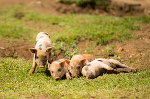 4頭の子豚の写真素材 [FYI01505395]