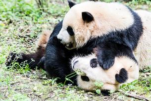 2頭のパンダの写真素材 [FYI01505441]