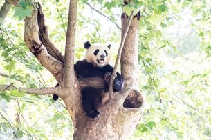 木に登る1頭のパンダの写真素材 [FYI01505449]