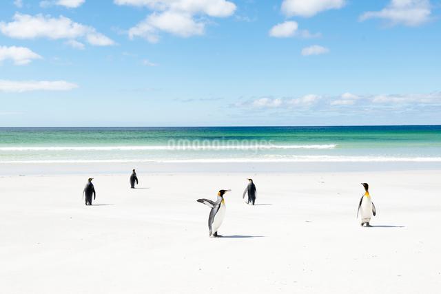 砂浜のキングペンギンの写真素材 [FYI01505453]