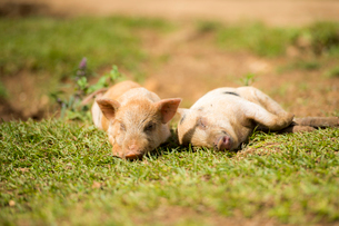 2頭の子豚の写真素材 [FYI01505475]