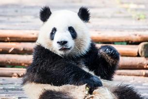 1頭のパンダの写真素材 [FYI01505559]