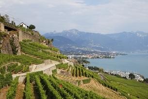 Lavaux vineyard terrassesの写真素材 [FYI01505789]