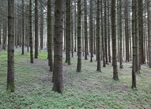 pine forest, trees, near St. Johann, Swabian Alpsの写真素材 [FYI01506201]