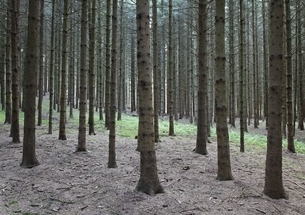 pine forest, trees, near St. Johann, Swabian Alpsの写真素材 [FYI01506407]