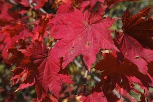 maple leaves, autumn colorsの写真素材 [FYI01506494]