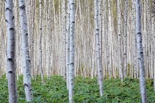 birch tree forestの写真素材 [FYI01506559]
