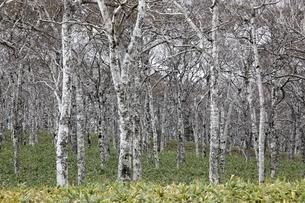 birch trees, forestの写真素材 [FYI01506615]