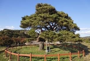 old pine tree, Hahoe Village, Gyeongsangbuk-do, Koreaの写真素材 [FYI01506845]