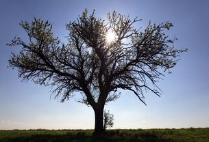 pear tree, sun, near Heilbronn, Baden-Wuerttembergの写真素材 [FYI01506897]