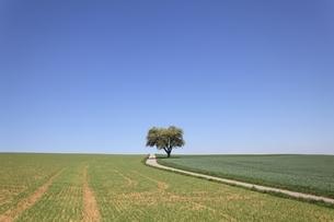 pear tree, fields, road, near Heilbronn, Baden-Wuerttembergの写真素材 [FYI01506997]