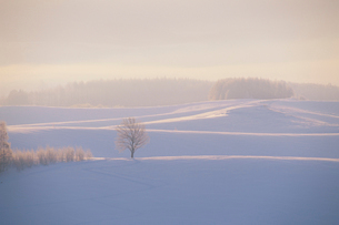 雪原と木立の朝の写真素材 [FYI01507015]