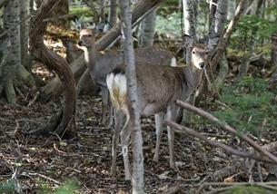 Ezo Shika, Hokkaido Deer, Cervus nippon yesoensisの写真素材 [FYI01507047]
