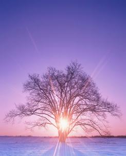 朝日とハルニレの木の写真素材 [FYI01507118]