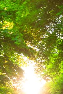 朝のモミジ新緑と木もれ日の写真素材 [FYI01507216]