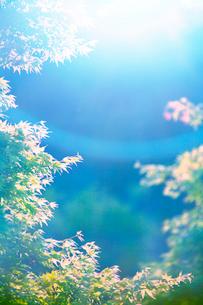 朝のモミジの新緑と木もれ日の写真素材 [FYI01507222]