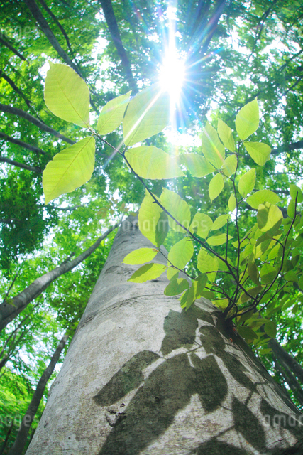 ブナの若葉と木もれ日の写真素材 [FYI01507230]