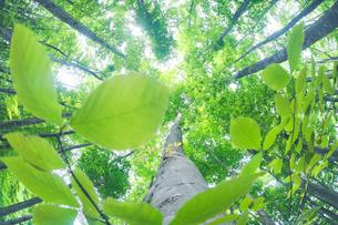 新緑のブナ林の写真素材 [FYI01507248]