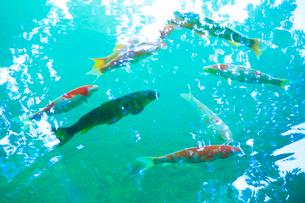 鯉と水面の写真素材 [FYI01507329]