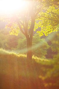新緑のモミジ木立と朝の木もれ日の写真素材 [FYI01507331]