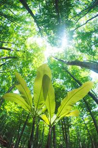 ホオノキの若葉と新緑のブナ林の写真素材 [FYI01507392]