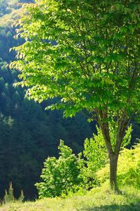 新緑のモミジ木立の写真素材 [FYI01507400]
