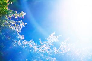 朝のモミジの新緑と木もれ日の写真素材 [FYI01507414]