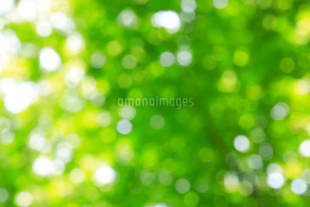 ブナ林の新緑イメージの写真素材 [FYI01507448]