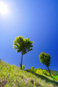 新緑のモミジ木立と太陽の写真素材 [FYI01507485]